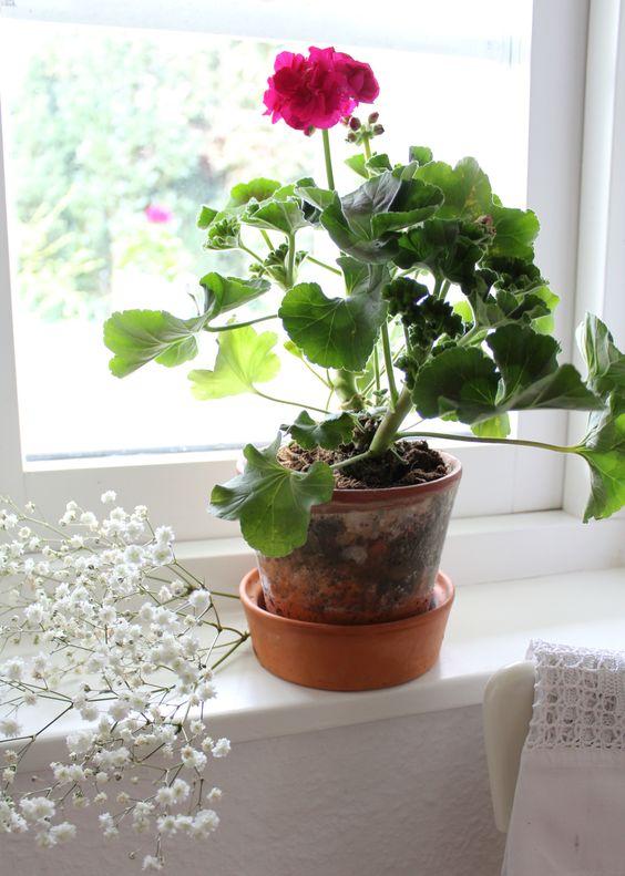 Die Geranie eine Pflanze mit Tradition!