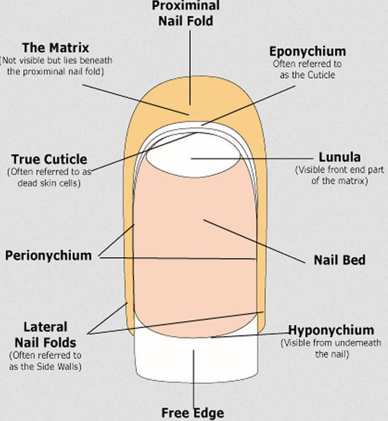 Diagram of nail anatomy