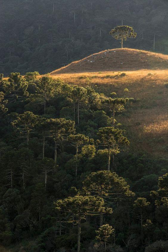 """The Sermon on the Mount - Os campos de cima da serra ou campos da serra geral são interrompidos por """"ilhas"""" de matas repletas de araucárias e outras espécies, principalmente em vales e encostas de rios, as matas ciliares. Aqui um detalhe curioso como essa araucária no alto do campo limpo, isolada das matas e demais vegetações. As cores também proporcionam uma beleza ímpar!"""
