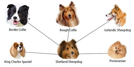 The Sheltie Relatives Shetland Sheepdog Working Dogs Breeds