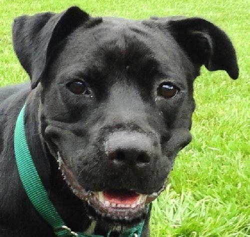 Boxador Dog For Adoption In Sarasota Fl Adn 51138 On Puppyfinder