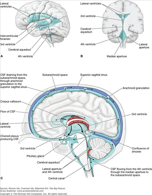 Ventricles of brain anatomy