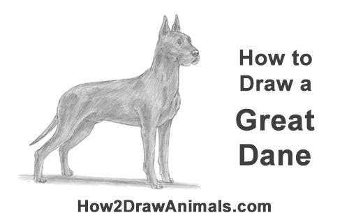 Draw A Great Dane Dog Dane Dog Great Dane Dogs Dogs