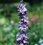 Sublime Lilac  Product ID: 1608