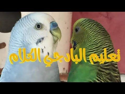 طيور البادجي Youtube Animals Parrot Bird