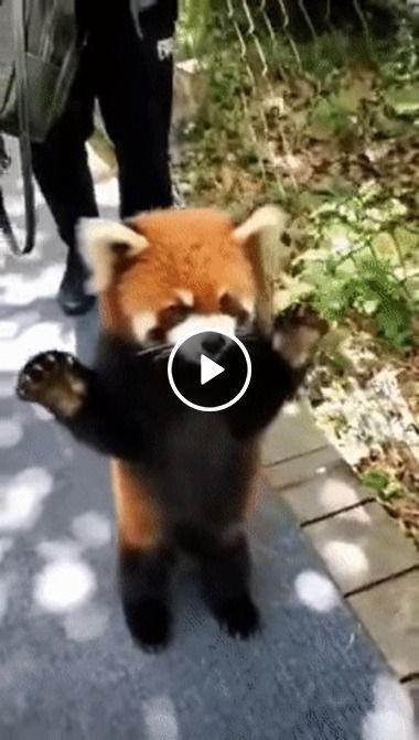 Fofo Panda vermelho mostra sua beleza.