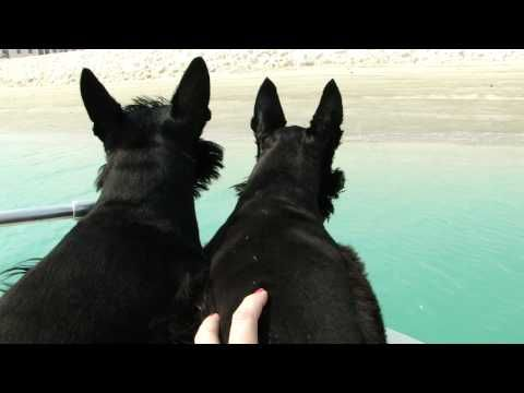 Scottish Terriers chasing waves-- Adorable
