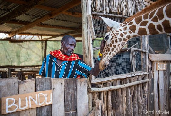Photo by @amivitale. Twigs, a reticulated giraffe, comes back to Sarara Camp…