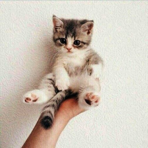 Cats And Kittens Peter Erskine Cats And Kittens For Sale Gumtree Kittens Cutest Baby Animals Cute Animals