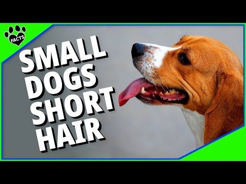Small Dog Breeds With Short Hair Youtube In 2020 Small Dog Breeds Small Dogs Short Hair Styles