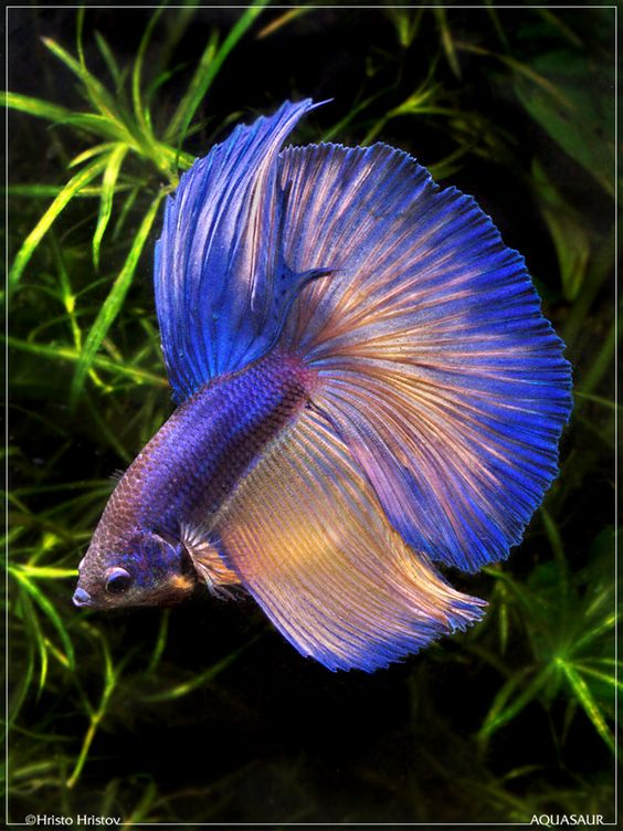 Gorgeous male betta splendens bettas are tropical fish for Buy betta fish