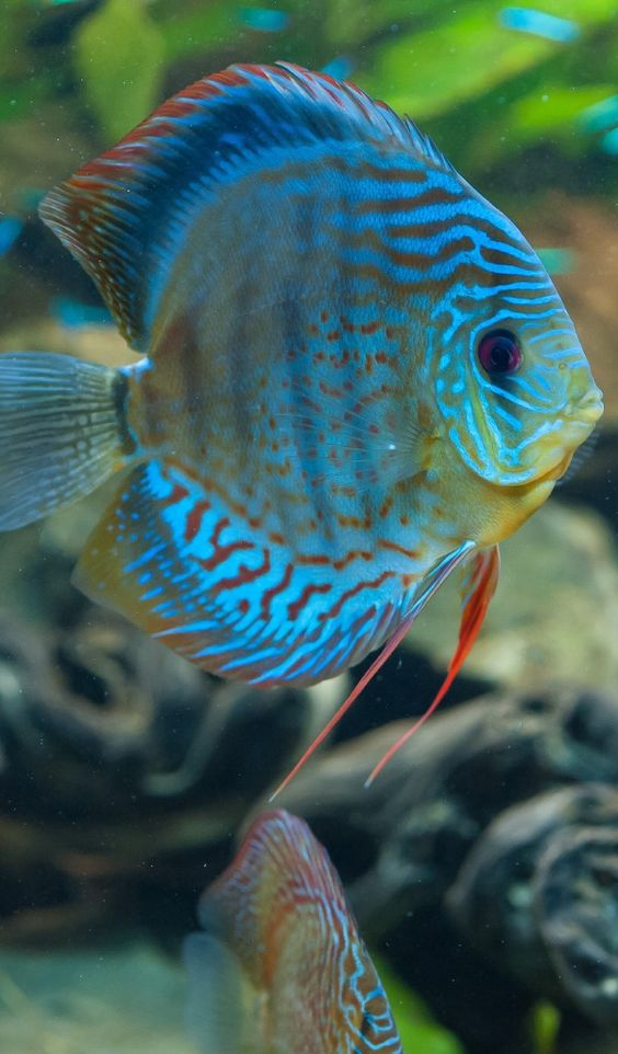 Discus Fishes Tropical Fishes Pinterest Beautiful