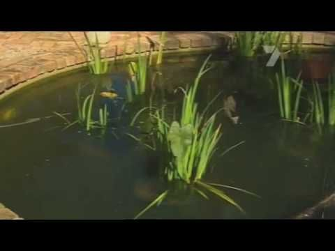 Convert the chlorine pool to a natural pond just turn for Koi pond swimming pool conversion