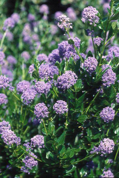 Ceanothus 39 autumnal blue 39 this handsome evergreen shrub for Blue flowering bush