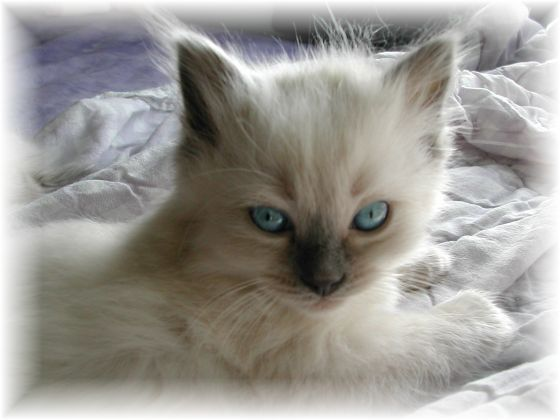 Ragdoll Kittens Cats By Willow Tree Rags Ragdoll Cattery Photo