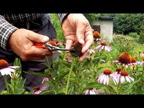 Jak Pobierac Nasiona Z Bylin Youtube Flowers Garden Growing