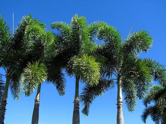 palmeira rabo-de-raposa.