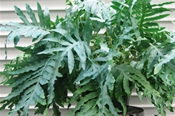 fern phlebodium blue star tres chic tropicals pinterest blue products and ferns. Black Bedroom Furniture Sets. Home Design Ideas