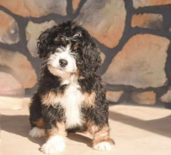 Meet The Mini Bernedoodle And Its Polar Opposite Parents In 2020 Bernedoodle Mini Bernedoodle Bernedoodle Puppy