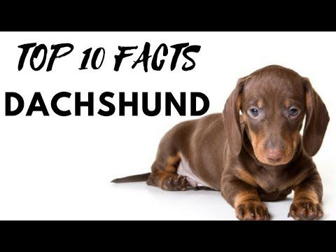 Why You Should Have A Dachshund Youtube 10 Interesting Facts