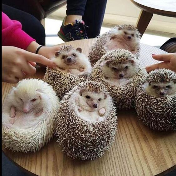 Look at all these muffins. I need them all. Squad goals #hedgehog #hedgehogs #sassy #squad #hedgehogsofinstagram @mqf9629