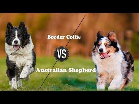Border Collie Vs Australian Shepherd Breed Info And Comparison Youtube Border Collie Australian Shepherd Collie