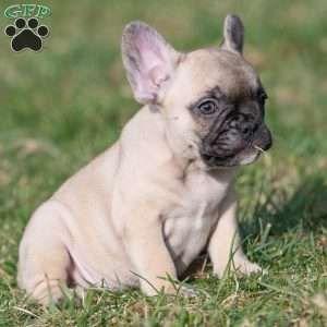 Daisy French Bulldog Puppy For Sale In Pennsylvania Bulldog
