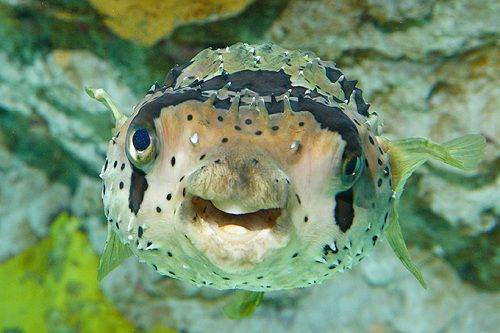A balloonfish has been added to our Lurking exhibit! #AnimalUpdate