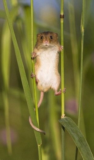 A cute field mouse