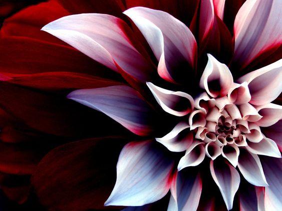 Dahlia - enigmatic flower