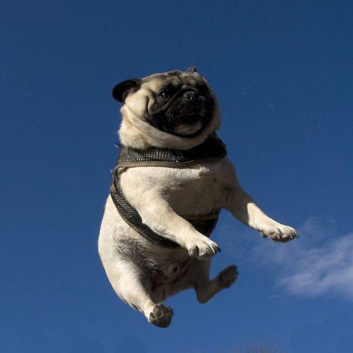 Airborne pug