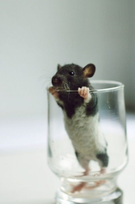 Cup O' Baby Rat