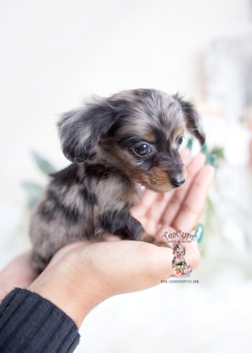 Silver Dapple Merle Mini Long Haired Dachshund Puppy Teacup