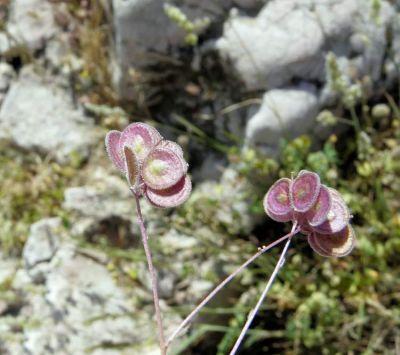 Biscutella didyma subsp. didyma - Puglia estinta