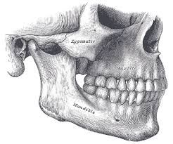 face skull anatomy - Google Search