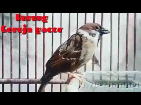 Burung Gereja Gacor Youtube Animals Pets Bird