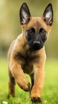 Pin On Malinios Belgian Shepherd