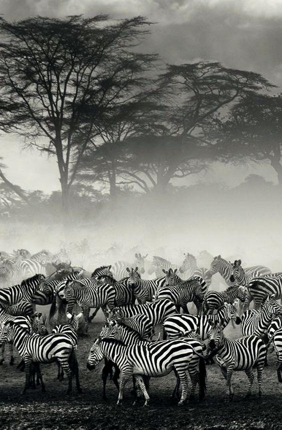 Z=Zebras