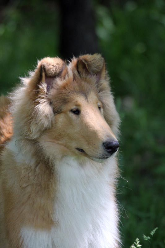 Male Collie Puppies For Sale Collie Stud Service In Pennsylvania