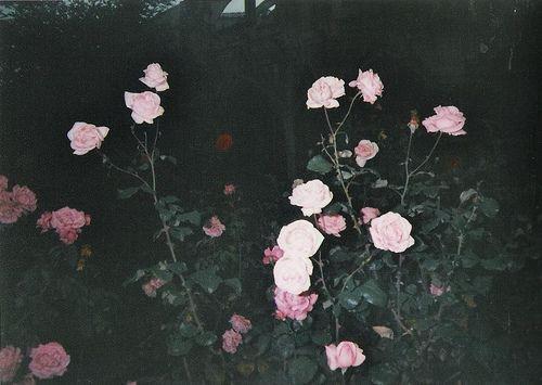 flowers grunge dark flowers roses flowers pink roses roses grow ...   500 x 355 jpeg 29kB