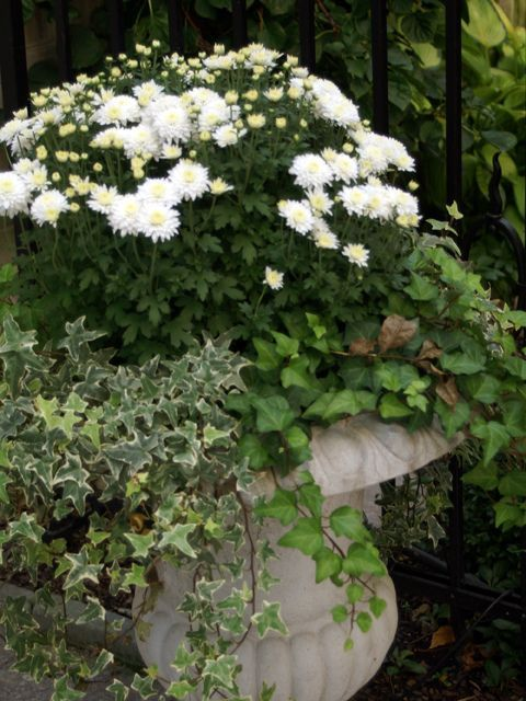 oh yes, white mums and ivy in a lovely urn    Fall...