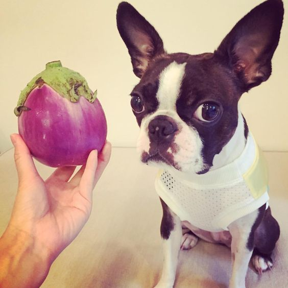 ココの顔と同じぐらいの✨ #bostonterrier  #ボストンテリア #トンダビアンカ  #イタリアナス #食べ方わかりませんw