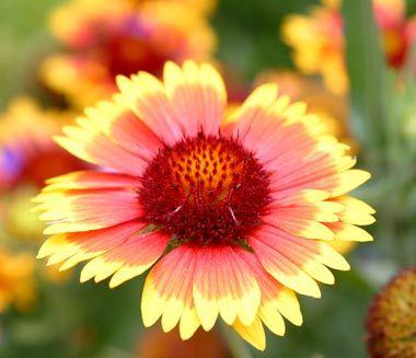 indian blanket wildflower   Gaillardiapulchella