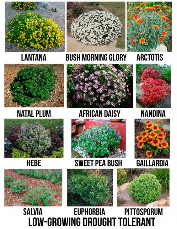 Drought tolerant flowering shrubs for san diego for Landscaping plants pictures and names
