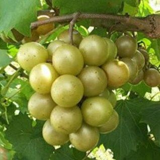 Scuppernong or Muscadine Jelly