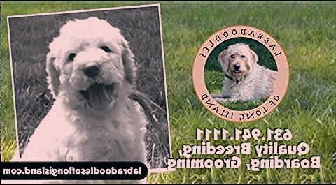 Labradoodles Of Long Island Is A Experienced Labradoodle Breeder