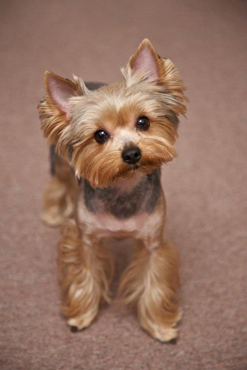 Yorkie Haircuts Pictures Best Haircuts Yorkie Dogs Cute Dogs Yorkie