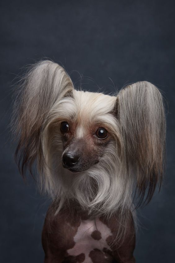 Chinese Crested. By Ty Foster.