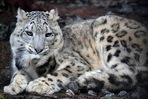 Snow Leopards Biting Their Tails It Really Is A Thing Via Rae Paoletta Payoletter Snow Leopard Big Cat Family Weird Animals
