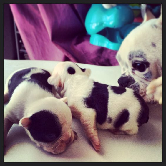 French Bulldogs new born and the mother